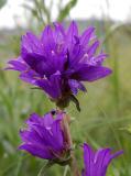 Campanula glomerata,  kluwenklokje, zeer zeldzaam in het wild