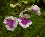 Ponerorchis,  flower 2 cm
