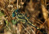 Onychogomphus uncatus