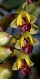 Baptistonia sp.   flowers 1 cm