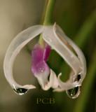 Leptotus bicolor, flower 3.5 cm