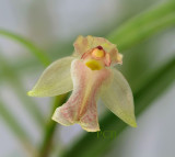 Scaphyglottis sp. flower  8 mm