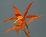 Hoffmanneggella (Laelia) harpophylla, botanic, 4 cm