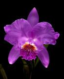 Cattleya lueddemanniana, common colour 'select'  botanic