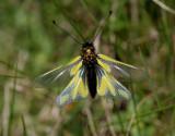 Owlfly - vlinderhaft, vers