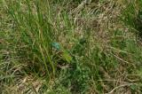 Smaragdhagedis, Lacerta viridis