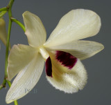 Dendrobium pulchellum, Ueang Chang Nao - Kham Ta Khwai