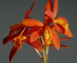 Cattleya millerii, flowers 5.5 cm, very rare in the Brasilian rain forest, growing on rocks