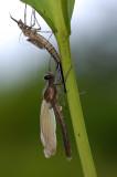 Calopterix splendens, uitsluiper, het blijkt een mannetje te zijn