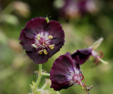 Geranium phaeum, Donkere ooievaarsbek, zeldzaam