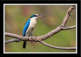 Kingfisher birds from Thailand