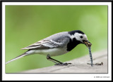 Wagtails 2008