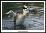 Great Crested Grebe 2007 Part I