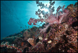 Pulau Babi Alcyonaria