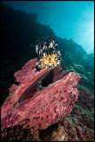 Pulau Babi sponge