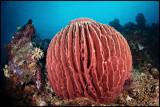 Panga batang sponge