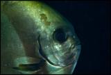 Waiterang batfish