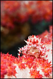 Soft coral crab on Talisay 2