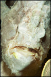 Giant frogfish on Talisay