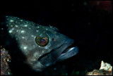 Grouper on cleaning station