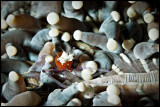 Anemone Popcorn shrimp