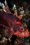 Scorpionfish Wainilu