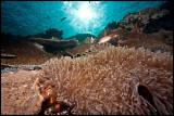 Batu Bolong anemone