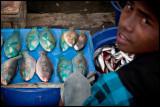 Blue parrotfish boy