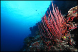 Whip coral