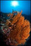 Sipadan soft coral