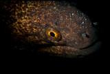 Snoot on Moray Eel