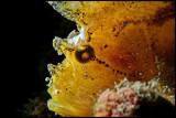 Backlit Leaffish