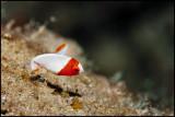 Juvenile red parrotfish