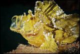 Yawning Leaffish
