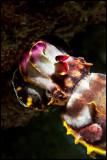 Flamboyant cuttlefish1