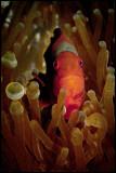 Female Spinecheek Clownfish