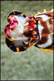 Flamboyant cuttlefish2