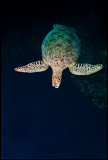 Turtle out of the blue
