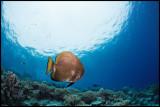 Lone batfish