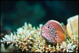 hawkfish Moso