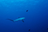 Thresher Shark Crystal Bay