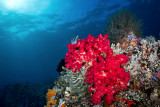 Sahaung flashy red coral