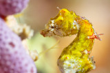 Pontohi Pygmy Seahorse close up
