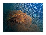 Glassfish & gorgonians