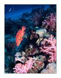 Vivid Similan grouper