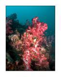 Shark point corals