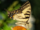 Eastern Tiger Swallowtail butterfly (Papilio glaucas)