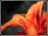 tiger-lily-blur