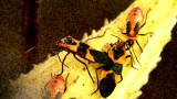 milkweed bug.jpg