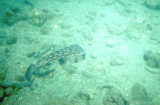 Spotted Porcupinefish.jpg